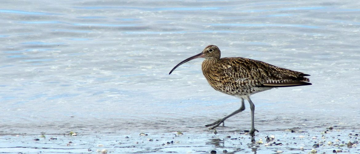 Wintering curlew foraging in the shallows
