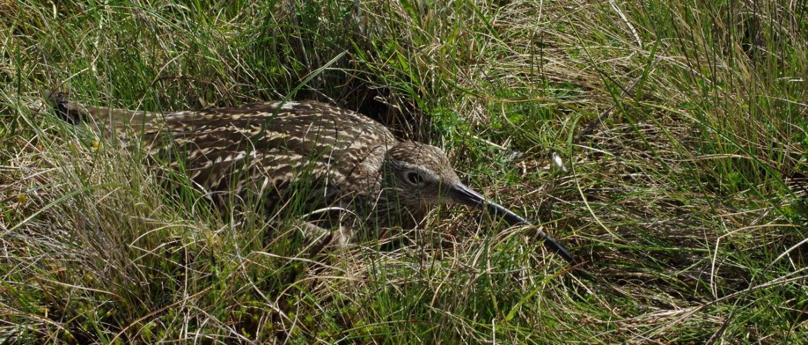 Incubating Curlew, crouching on its nest on a grouse moor